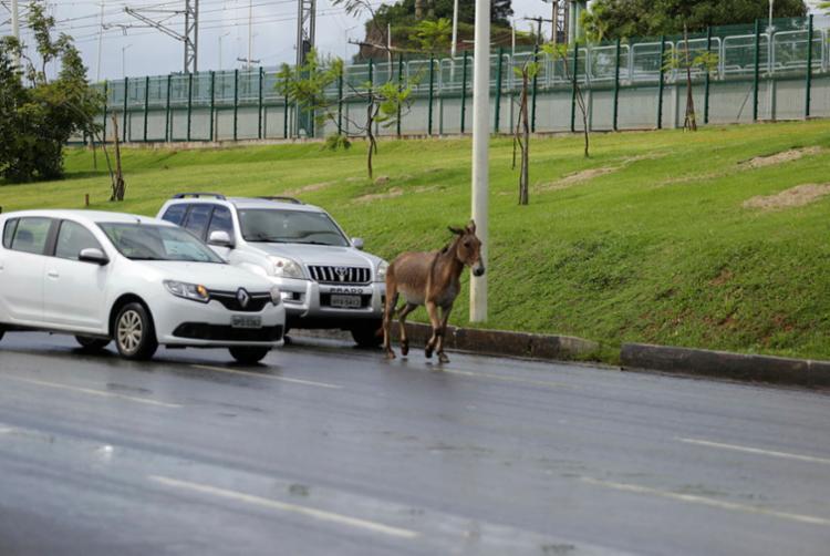 Animal quase gerou um acidente quando atravessou a pista da avenida Paralela - Foto: Joá Souza   Ag. A TARDE