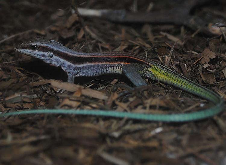 Calango possui sete cores e foi descoberto na Lagoa do Abaeté - Foto: Divulgação   Moacir Tinoco