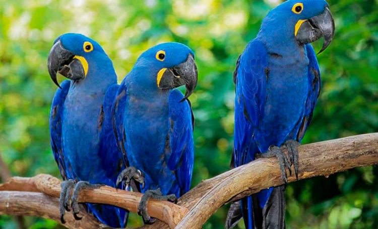 Atualmente, existem no mundo apenas 163 exemplares da ave, todos mantidos em cativeiro - Foto: Reprodução