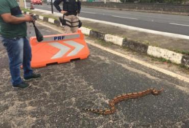 Jiboia de um metro e meio é resgatada na rodovia | Divulgação | PRF