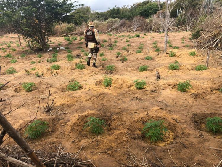 Cerca de 220 mil pés da droga foram localizados após denúncias - Foto: Divulgação | SSP-BA