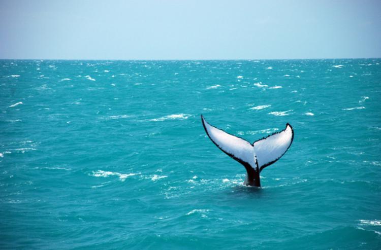 A Bahia é o Estado que possui o maior número de destinos para a observação das baleias jubartes. - Foto: Divulgação