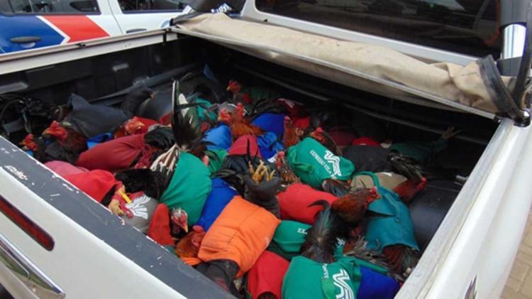 Todos os 200 galos que eram explorados nas rinhas serão sacrificados por falta de espaço