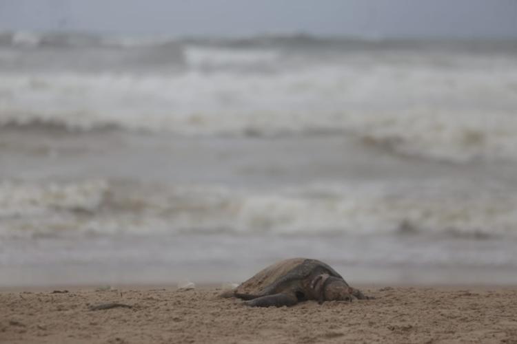 A tartaruga apareceu na praia durante a madrugada - Foto: Raul Spinassé | Ag. A TARDE