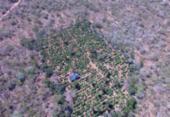 Plantação com 40 mil pés de maconha é erradicada em Canudos | Foto: Divulgação | SSP