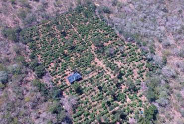 Plantação com 40 mil pés de maconha é erradicada em Canudos | Divulgação | SSP