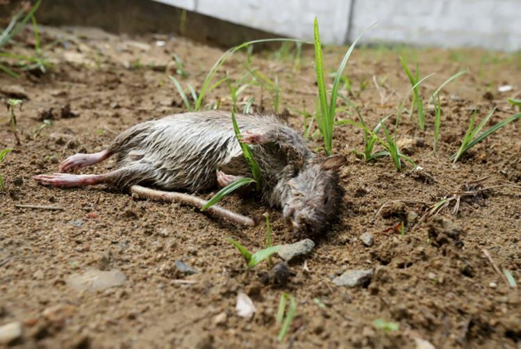 Rato morto estava na entrada da rampa de refeições, quando reportagem esteve na unidade