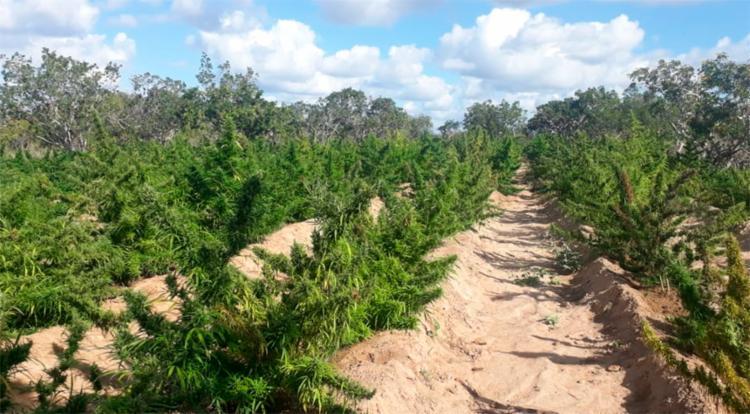 Polícia encontrou roça com mais de 125 mil pés de maconha no interior da Bahia