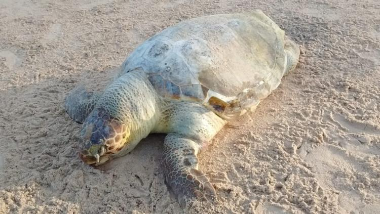 Uma tartaruga morreu após ficar presa em uma rede de arrasto de pesca. - Foto: Monica Panachão | Projeto A-mar
