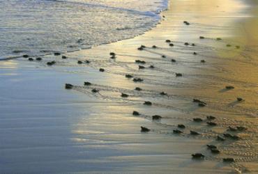 Projeto Tamar anuncia marca de 40 milhões de tartarugas protegidas | Divulgação l Projeto Tamar