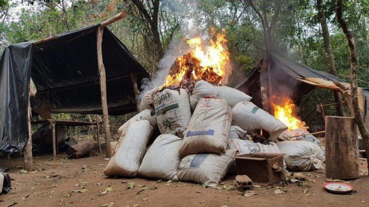 A quantidade de maconha destruída este ano ultrapassa o volume de 2017 e 2018 - Foto: Divulgação | Polícia Federal