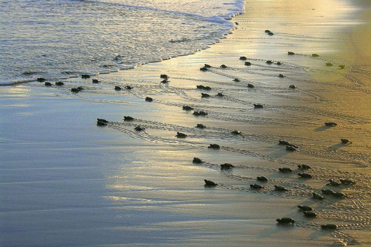 As ações do projeto se estendem por cerca de 1,1 mil quilômetros de praias - Foto: Divulgação l Projeto Tamar