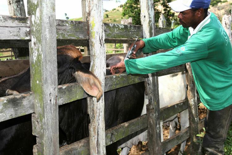 Segunda etapa da campanha de 2019 de vacinação para combater a aftosa é destinada aos animais de zero a 24 meses | Foto: Alberto Coutinho | GOV BA - Foto: Alberto Coutinho | GOV BA