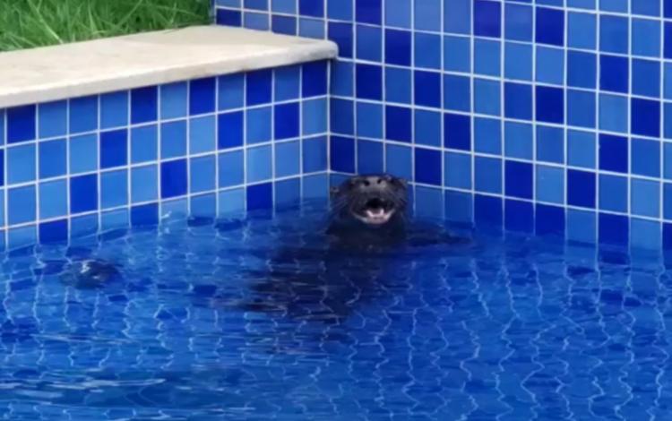 Animal apareceu em piscina de condomínio de luxo