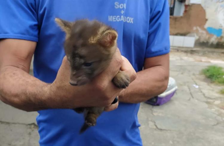 Dupla de filhotes de cachorro-do-mato foi encontrado em Valéria | Foto: Divulgação | SSP-BA