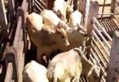 Polícia recupera cabeças de gado avaliados em R$ 60 mil | Foto: Divulgação | Polícia Civil
