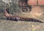 Jacaré é encontrado embaixo de carro em Patamares | Cidadão Repórter | Via Whatsapp