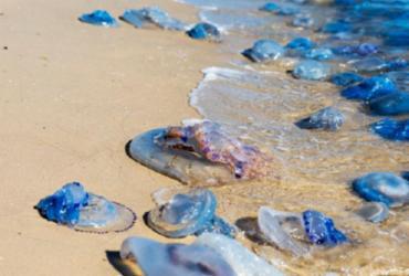 Especialista alerta para risco de queimadura com águas-vivas e caravelas | Divulgação | Freepik