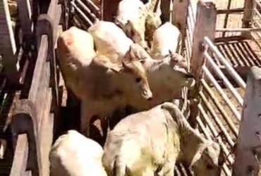 Polícia recupera cabeças de gado avaliados em R$ 60 mil | Divulgação | Polícia Civil