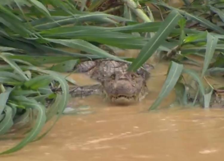 O animal foi visto nadando no canal poluído do Rio Vale do Paraguari | Foto: Reprodução | YouTube - Foto: Reprodução | YouTube