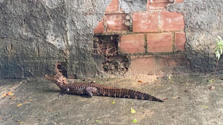 A suspeita é que o animal tenha saído de área de preservação ambiental.   Foto: Cidadão Repórter   Via Whatsapp - Foto: Cidadão Repórter via Whatsapp