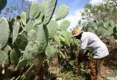 Produção de palma ajuda a nutrir gado | Foto: Joá Souza | Ag. A TARDE