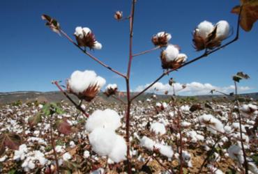 Safra baiana de algodão cresce 0,8% segundo IBGE