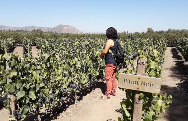 Visitantes podem provar as uvas que vão gerar diferentes tipos de vinho | Foto: Arquivo pessoal