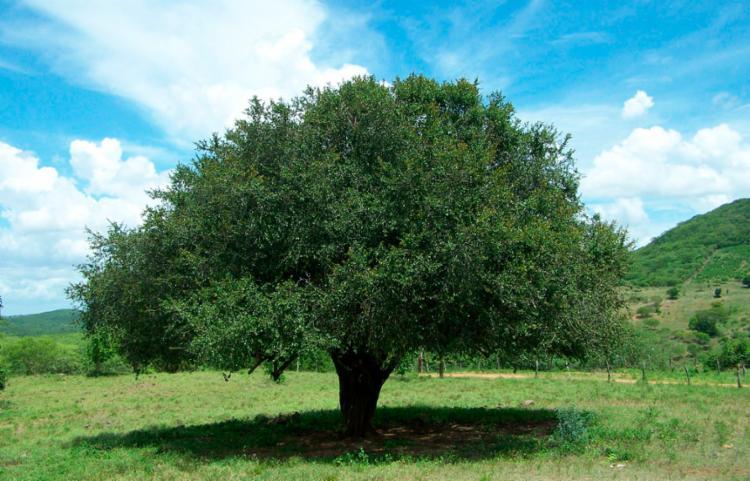 Etanol é obtido a partir dos frutos da árvore quixabeira | Foto: Reprodução - Foto: Reprodução
