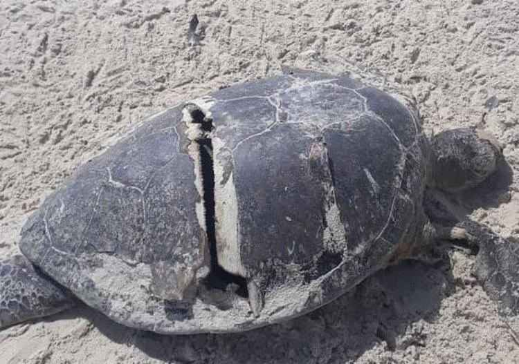 Animal encontrado morto na praia da Corurupe foi atingido por embarcação - Foto: Divulgação