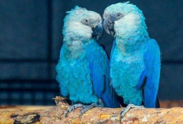 Ararinhas-azuis mantidas em cativeiro alemão já estão em Curaçá