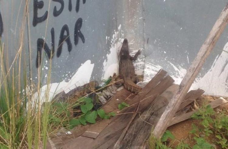 Jacaré será avaliado e posteriormente solto em seu habitat natural | Foto | Reprodução : Divulgação | SSP - Foto: Reprodução : Divulgação | SSP