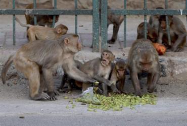 Macacos roubam amostras de testes contra a COVID-19 na Índia | Money Sharma | AFP