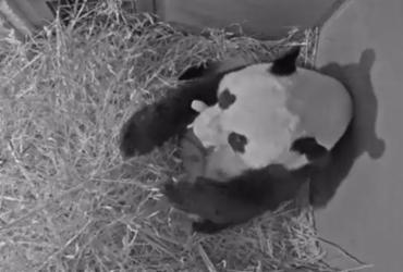 Nasce primeiro panda gigante na Holanda | Ouwehands Zoo | AFP