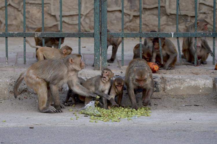 Autoridades indianas enfrentam constantemente o problema dos 'macacos ladrões'   Foto: Money Sharma   AFP - Foto: Money Sharma   AFP