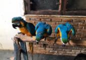 Araras amarelas são resgatadas de cativeiro em Salvador | Divulgação | SSP