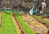 Plantação com 76 mil pés de maconha é localizada na BA | Divulgação | SSP