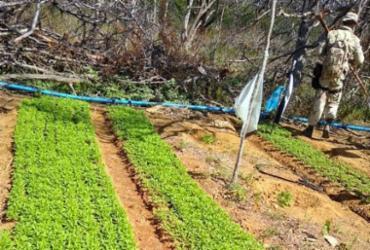 Plantação com 76 mil pés de maconha é localizada em Campo Formoso
