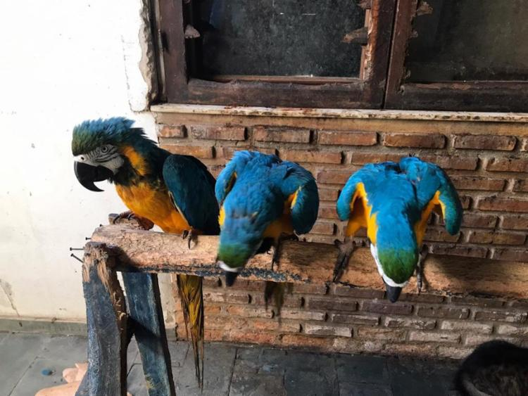 Proprietário alega que araras fazem parte da família há 31 anos - Foto: Divulgação   SSP