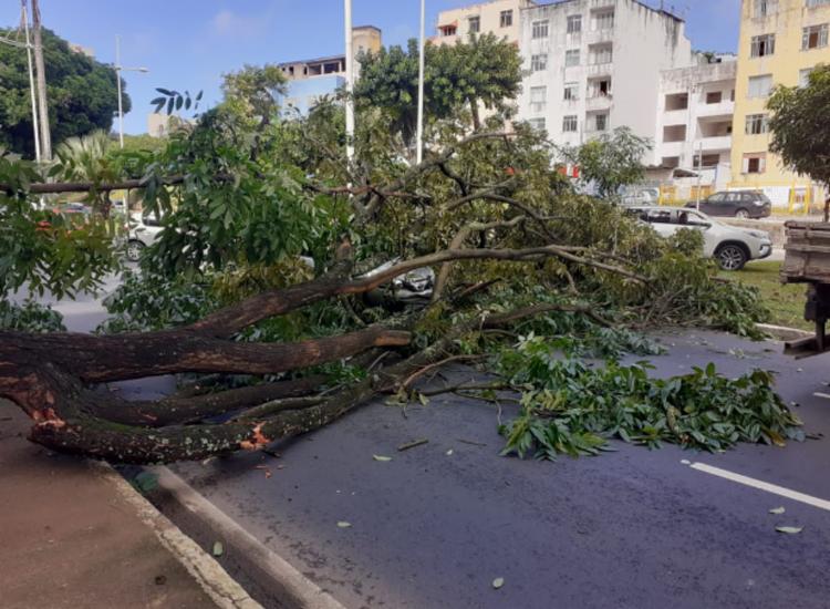 Ainda não se sabe o que teria causado a queda da árvore - Foto: Divulgação | Transalvador