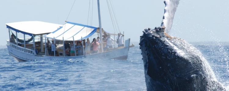 Observação de baleias contribui para desenvolvimento das pesquisas | Foto: Divulgação | Projeto Baleia Jubarte