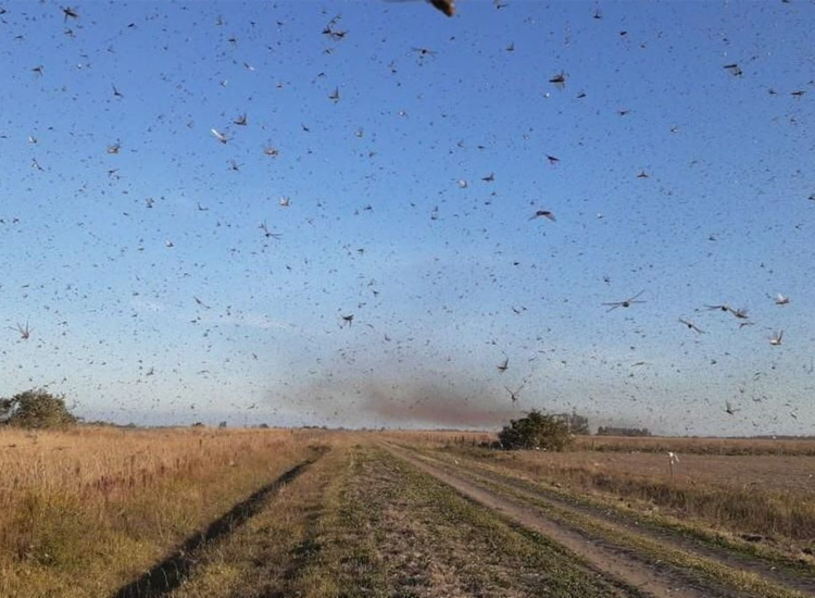 Milhões de gafanhotos invadiram cidades e fazendas de parte da Argentina - Foto: Reprodução | Twitter