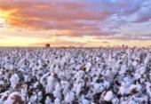 Colheita de algodão zela pela qualidade | Foto: Divulgação | Abapa