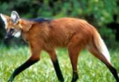 Escolhido para cédula de R$ 200, lobo-guará sofre ameaça de extinção | Foto: Adriano Gambarini | Reprodução