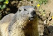 Adolescente que comeu carne de marmota morre de peste bubônica | Foto: Jean Christophe Verhaegen | AFP