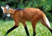 Cédula de R$ 200: lobo-guará sofre ameaça de extinção   Adriano Gambarini   Reprodução