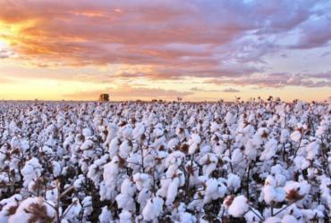 Colheita de algodão zela pela qualidade | Divulgação | Abapa