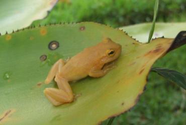 Cientistas descobrem nova espécie de perereca-de-bromélia na Bahia | Divulgação | Fundação Boticário