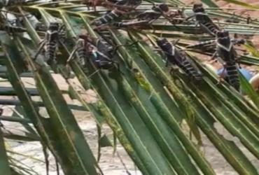Produtores rurais de Camamu alertam para praga de gafanhotos na região