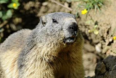 Adolescente que comeu carne de marmota morre de peste bubônica   Jean Christophe Verhaegen   AFP